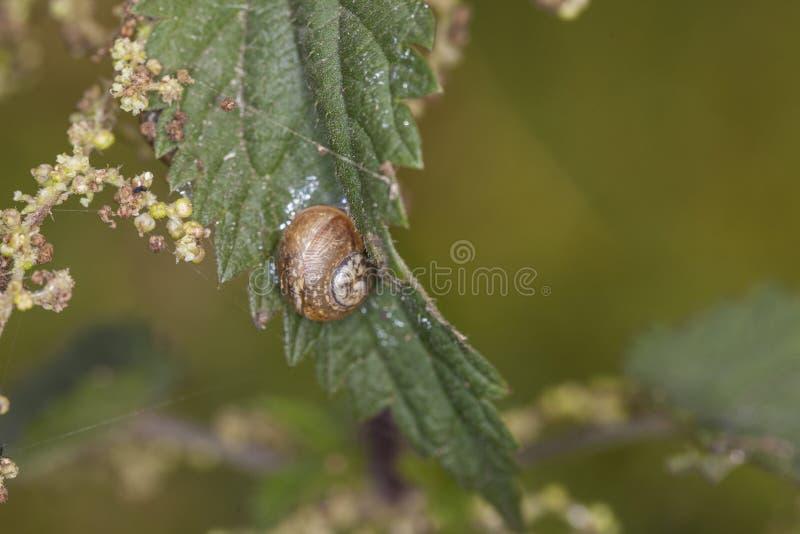 Schnecke, die oben eine Blattnessel klettert stockbild