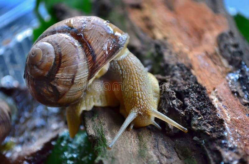 Schnecke gastropode stockbilder
