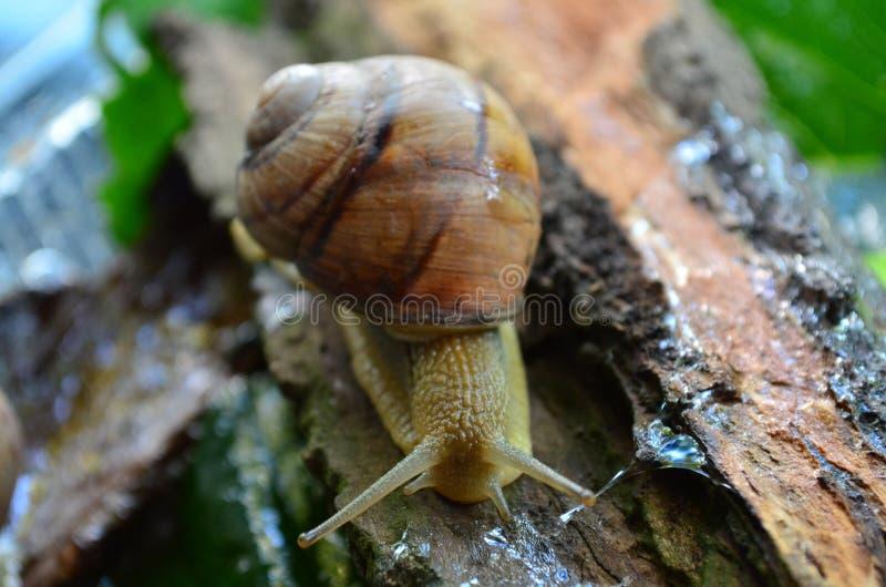 Schnecke gastropode lizenzfreies stockbild