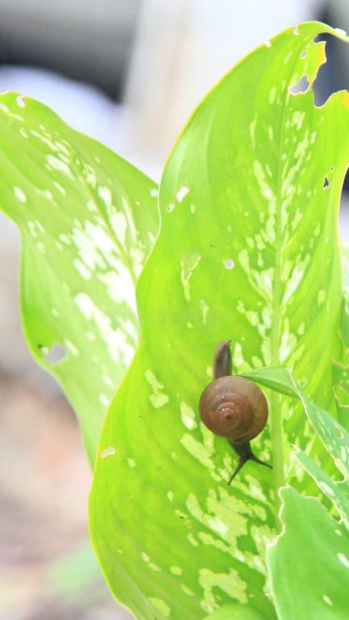 Schnecke oder Gastropode am Blatt, zum des Friedens der Natur zu zeigen stockfotos