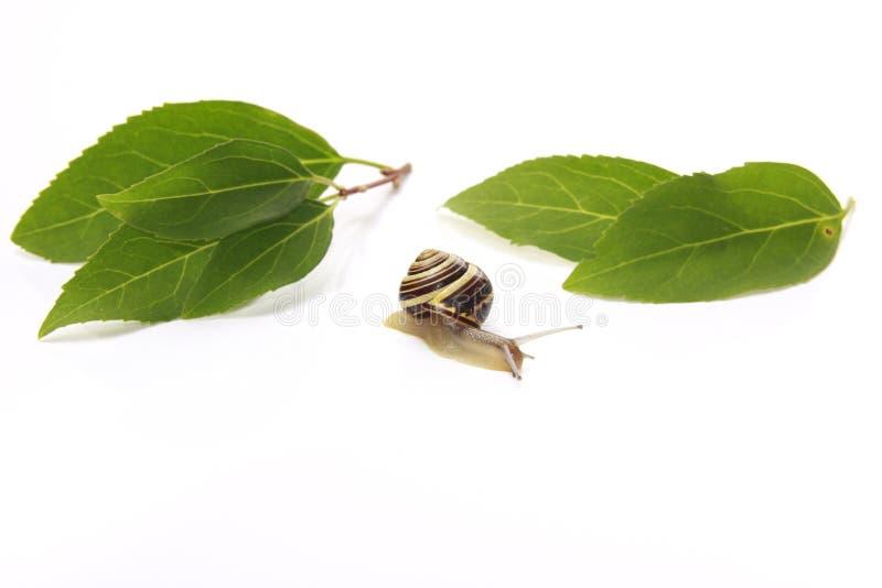 Schnecke und Blätter stockbilder