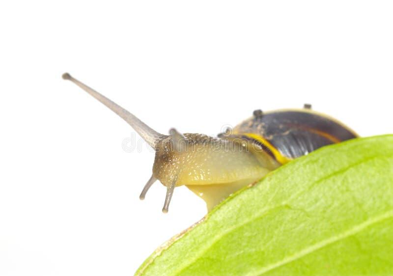 Schnecke und Blätter stockbild