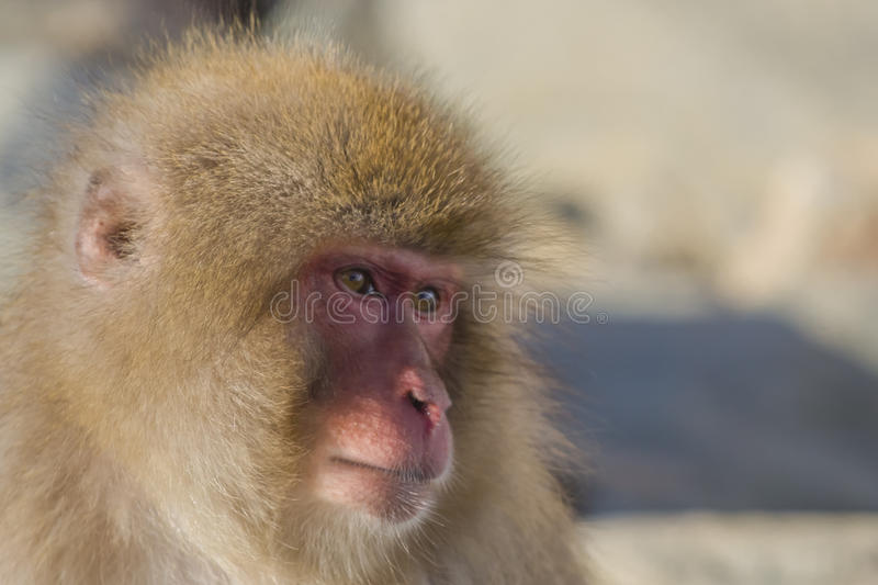 Schnee-Affe-Gefühle/Ausdrücke: Interesse lizenzfreie stockfotos