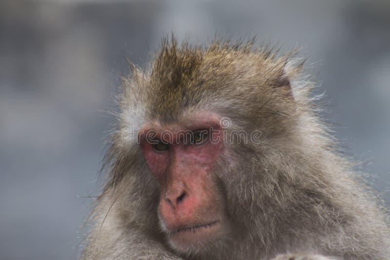 Schnee-Affen, die japanische Makaken onsen baden herein, heiße Quellen von Nagano, Japan stockbild