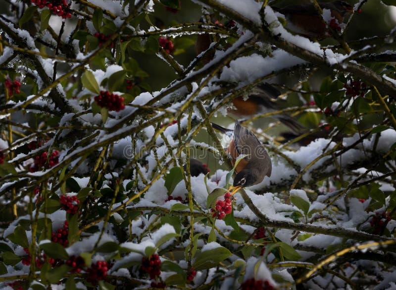 Schnee auf Beere bedecktem Baum im Vogel lizenzfreie stockfotografie