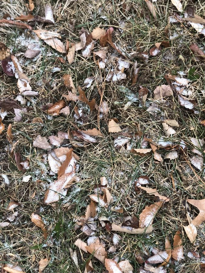 Schnee auf Blättern stockfotografie