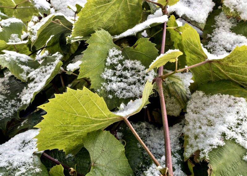 Schnee auf den grünen Blättern von Trauben lizenzfreie stockfotos