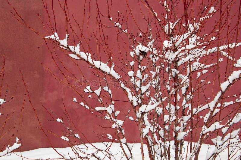 Schnee auf Niederlassungen eines Busches auf einem Rosa im rustikalen staubigen Tee stieg Farbe lizenzfreies stockbild