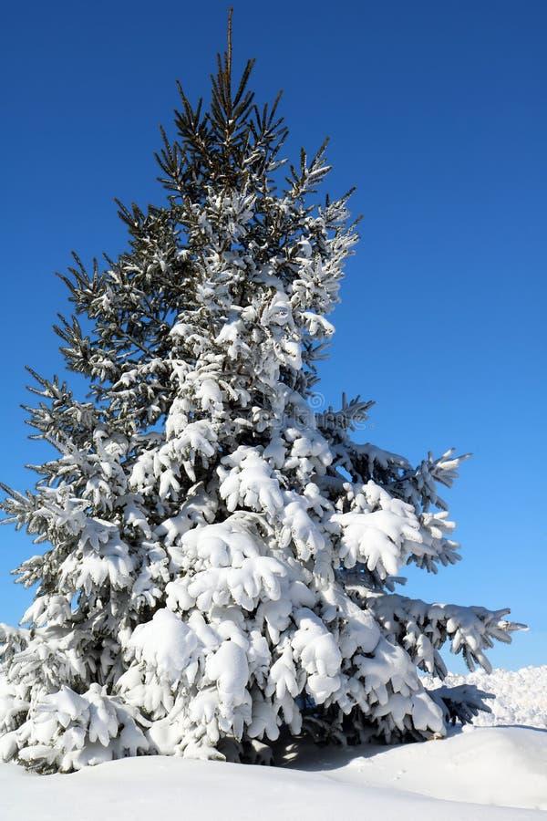 Schnee bedeckte gezierten Baum an einem ruhigen sonnigen Wintertag stockbild