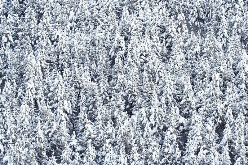Schnee bedeckte Kiefer lizenzfreie stockfotografie