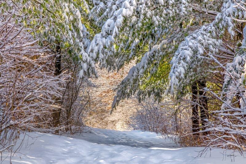 Schnee bedeckte Kiefer auf sonnenbeschienem Winter-Weg lizenzfreie stockfotografie