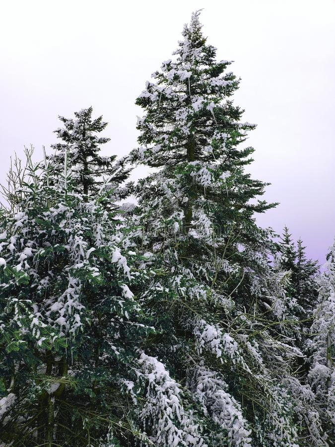 Schnee bedeckte Kiefern mit Eiszapfen lizenzfreie stockfotografie