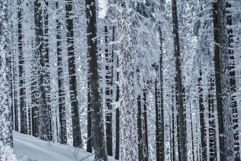 Schnee bedeckte Kieferstämme im Kiefernwald lizenzfreies stockfoto