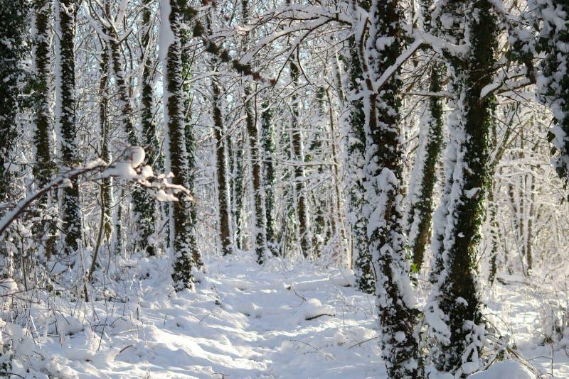 Schnee bedeckte Winterbäume im Wald stockfoto