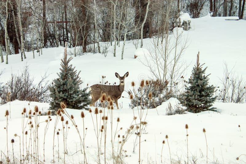 Schnee-Damhirschkuh lizenzfreies stockfoto