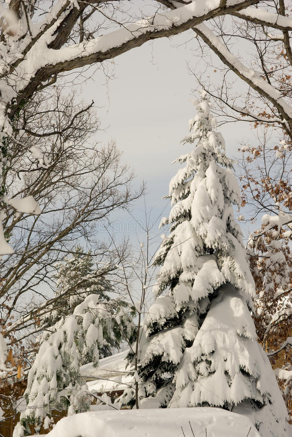 Schnee deckte Immergrün ab stockbilder