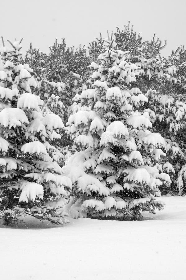 Schnee deckte Tannenbäume ab stockfotos