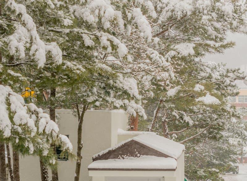 Schnee deckte unverwüstliche Bäume ab stockfoto