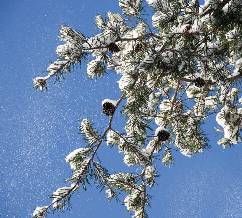 Schnee, der von einem Kieferzweig fällt stockfotografie