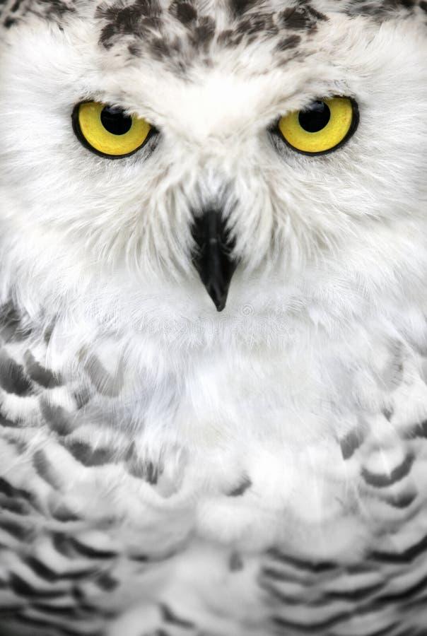 Schnee-Eulen-Augen stockfoto