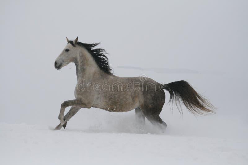 Schnee fliegt aus dem Huf heraus Der graue Hengst, der auf die Steigung im Schnee galoppiert stockfoto