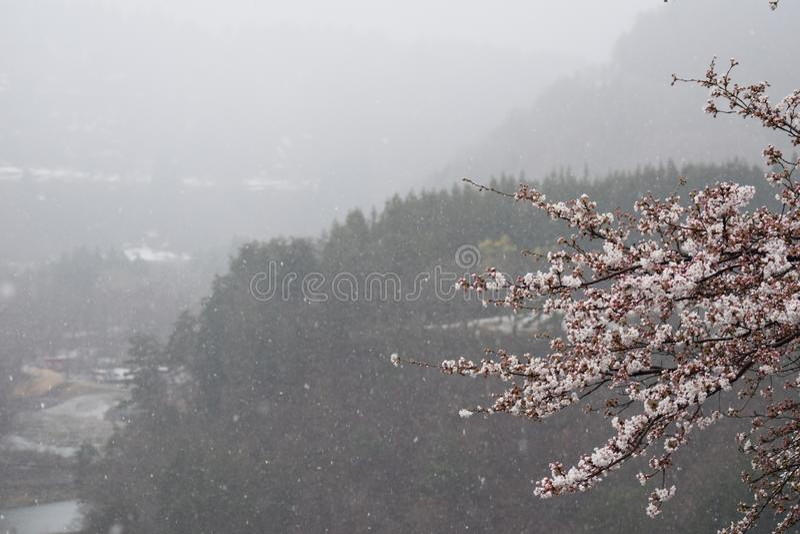 Schnee-Frühling Cherry Blossom Tree Shirakawago Mountain Japan lizenzfreies stockbild