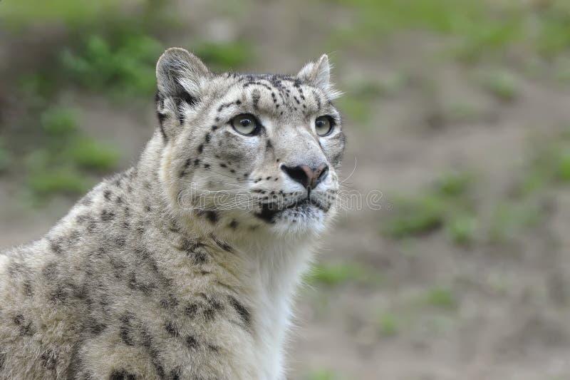 Schnee-Leopard stockfotografie