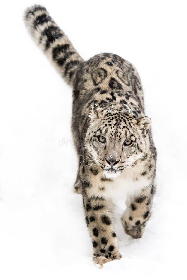Schnee-Leopard auf dem Prowl IX lizenzfreie stockfotos