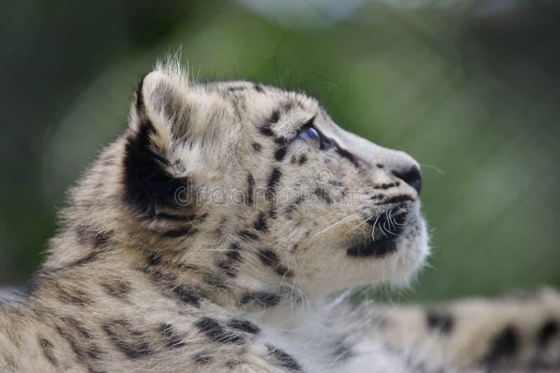 Schnee-Leopard Cub lizenzfreie stockfotografie
