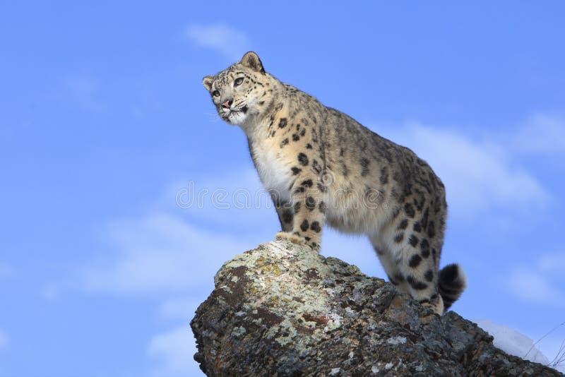 Schnee-Leopard, der weg vom Berg schaut stockbild