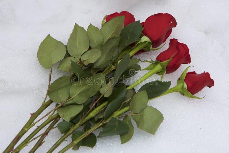 Schnee-Rosen stockfoto