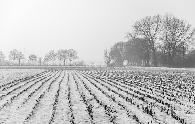 Schnee setzte Forderung mit Maisstoppel an einem nebeligen Tag durch lizenzfreies stockfoto