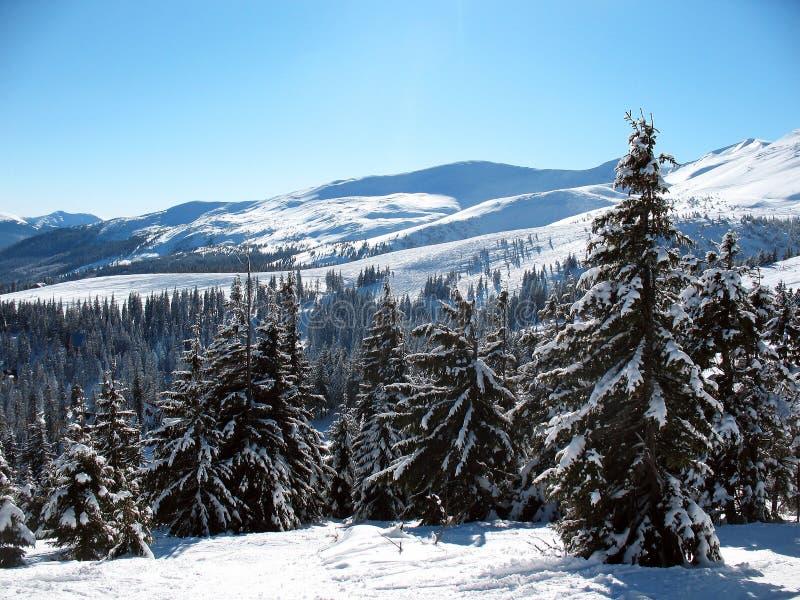 Schnee umfasste Gebirgsspitzen mit Hügeln umfasste Tannenbaumwaldwinterlandschaft der Karpaten in Ukraine lizenzfreies stockfoto