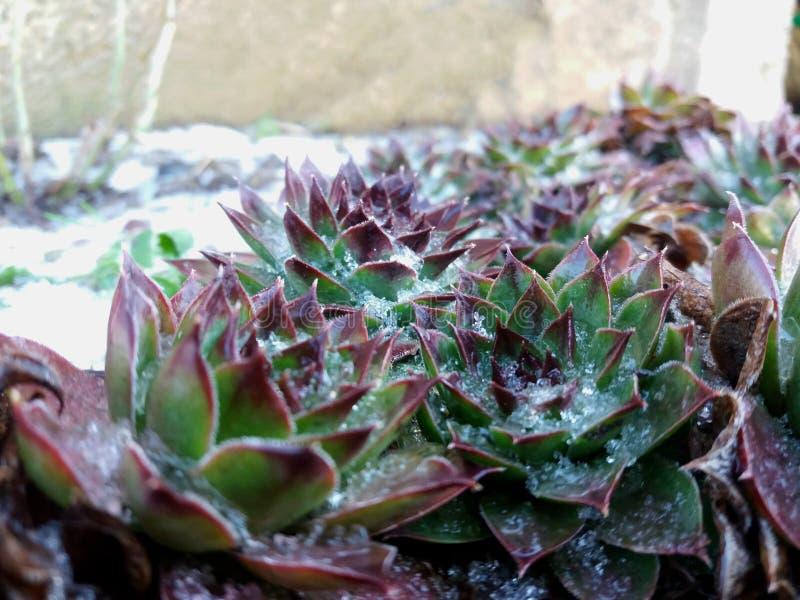 Schnee umfasste houseleek Winter, Succulents stockbilder
