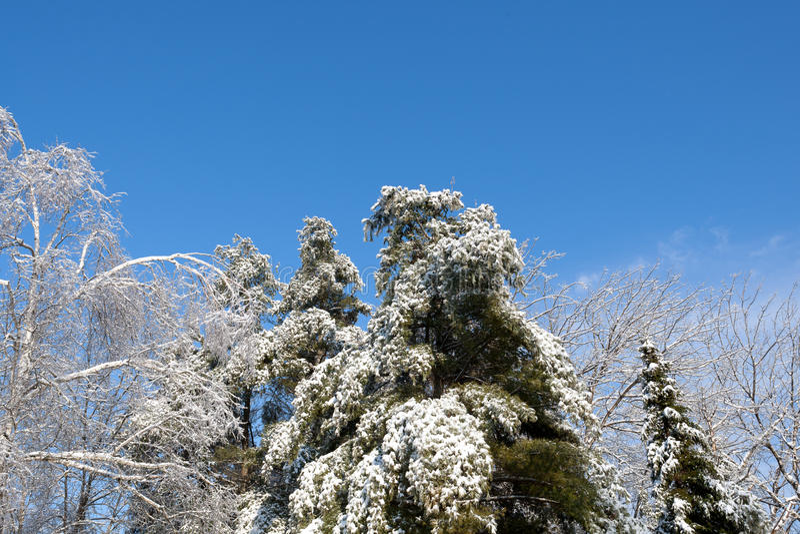 Schnee und Eis bedeckten Bäume gegen blauen Himmel lizenzfreie stockbilder