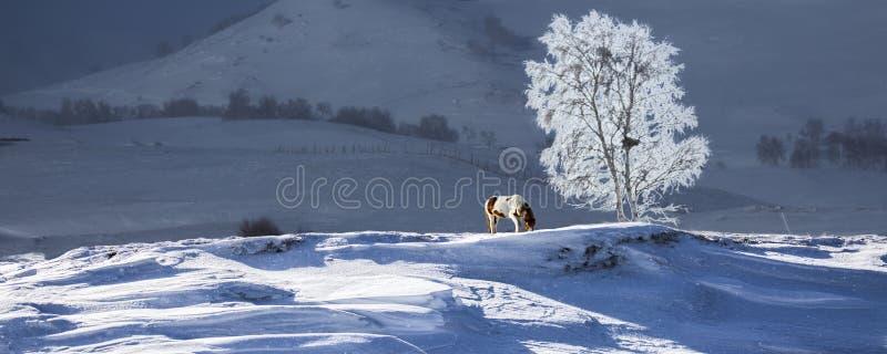 Schnee, yushu und Pferde stockfotos