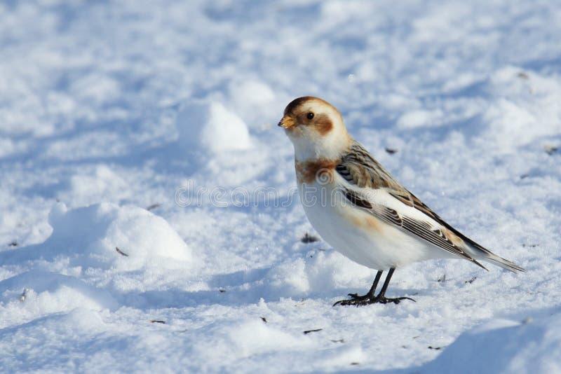 Schneeammer, die auf Schnee steht stockfotos