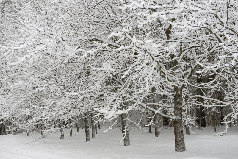 Schneebedeckte Apfelbäume in der Nähe des Waldes stockfotografie