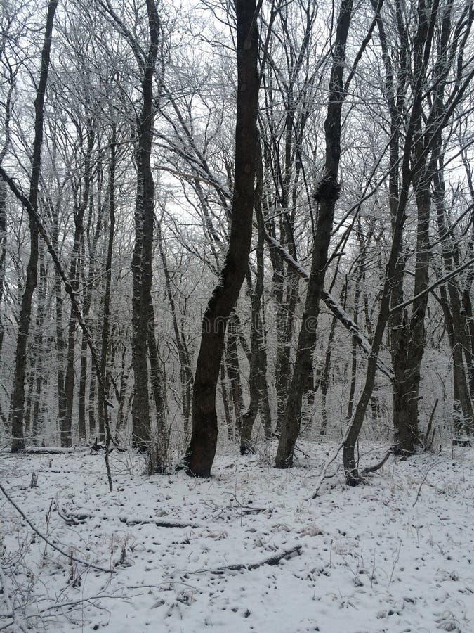 schneebedeckter Wald des einzigen Winters stockfoto