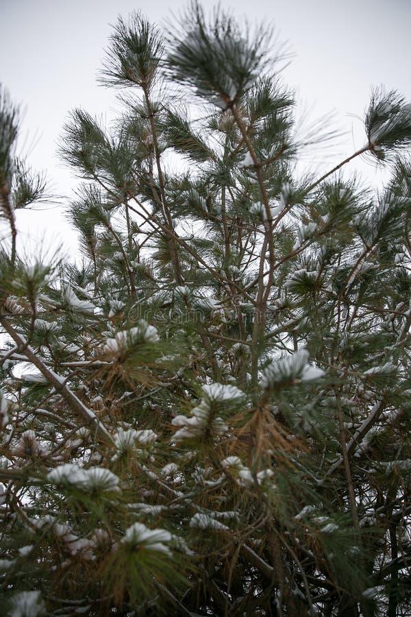 Schneedeckekiefer nach Wintersturm stockbild