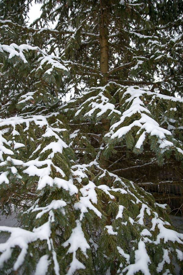 Schneedeckekiefer nach Wintersturm stockfotografie