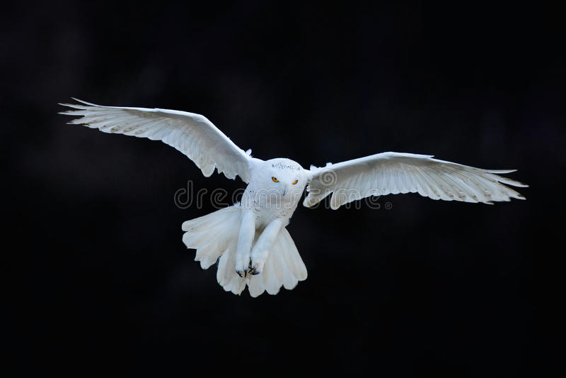 Schneeeule, Nyctea-scandiaca, weißes Fliegen des seltenen Vogels im dunklen Wald, Winteractionszene mit offenen Flügeln, Kanada lizenzfreie stockbilder