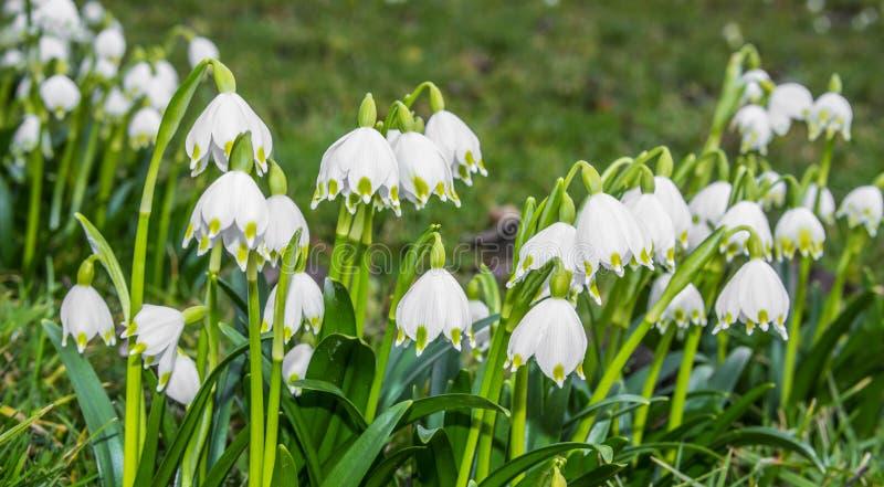 Schneeflockenblumen lizenzfreie stockfotografie