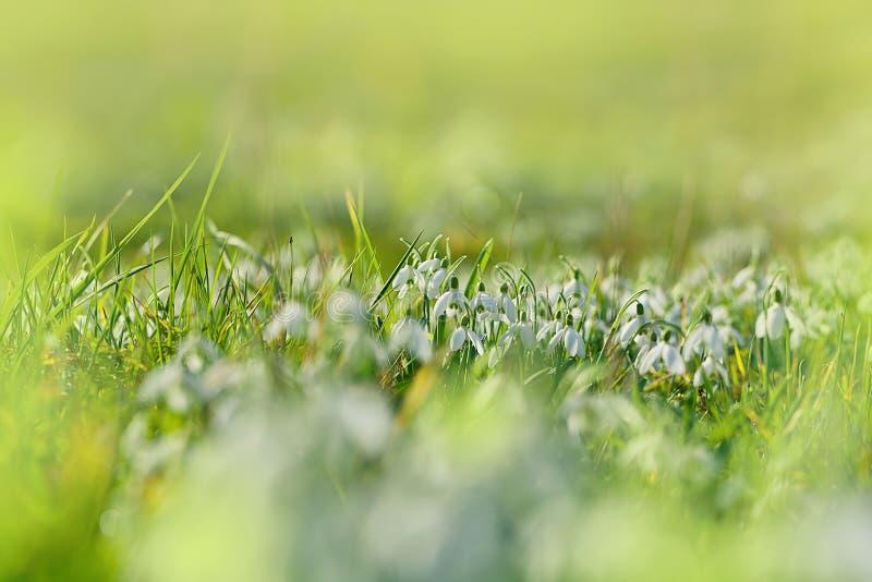 Schneeglöckchen auf dem Feld lizenzfreie stockfotos