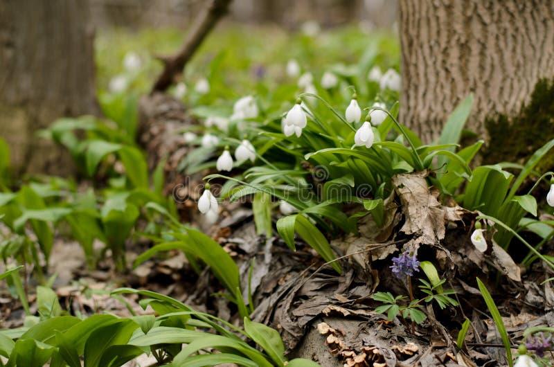 Schneeglöckchen galanthus Blüte stockbild