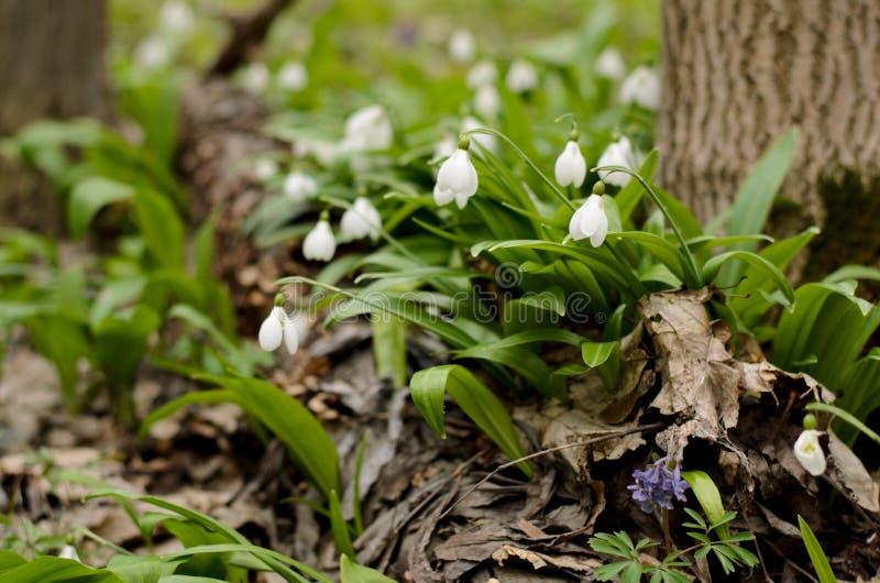 Schneeglöckchen galanthus Blüte lizenzfreie stockbilder