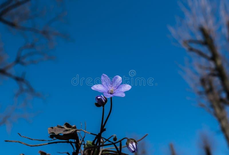 Schneeglöckchen gegen den blauen Himmel Schöner Frühlingshintergrund stockfotografie