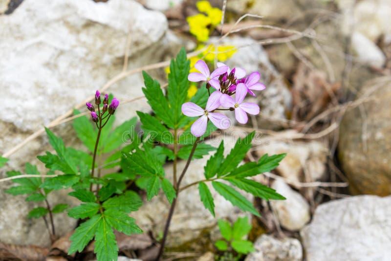 Schneeglöckchen im Wald im Vorfrühling Wilde Blumen auf der Wiese stockfotografie