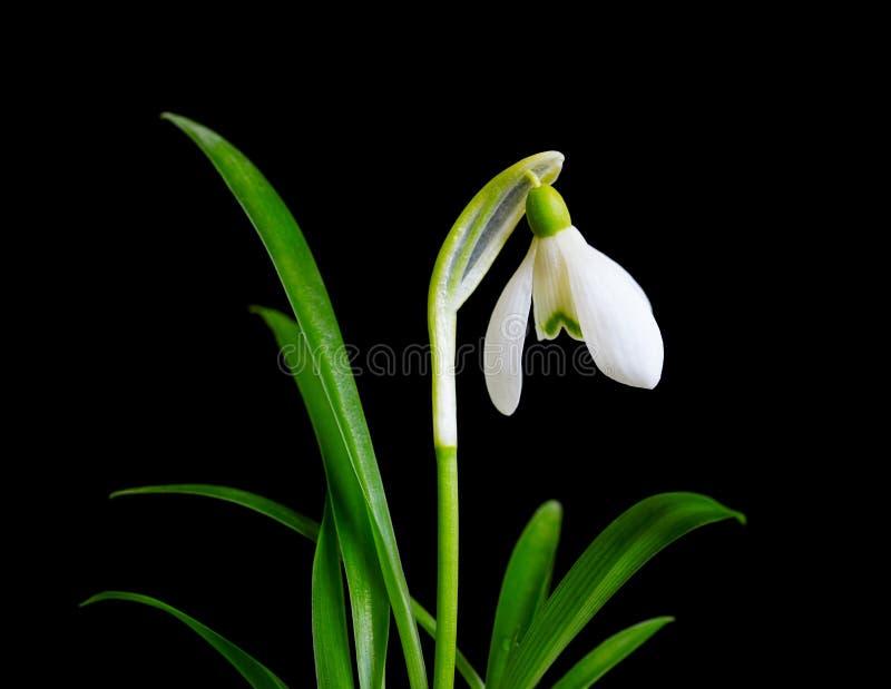 Schneeglöckchen mit den Blättern lokalisiert Kleines Schneeglöckchen mit dem grünen Blatt lokalisiert lizenzfreies stockbild