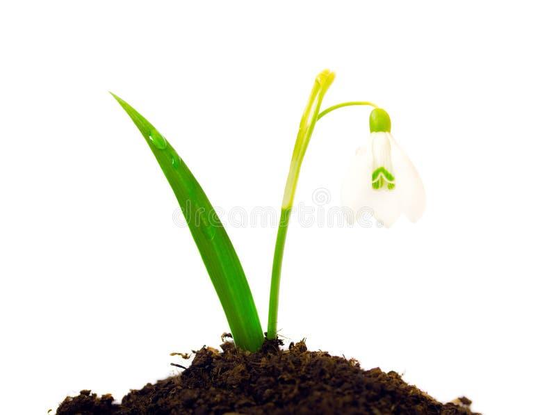 Schneeglöckchen mit den Blättern lokalisiert Kleines Schneeglöckchen mit dem grünen Blatt lokalisiert auf Weiß stockfoto